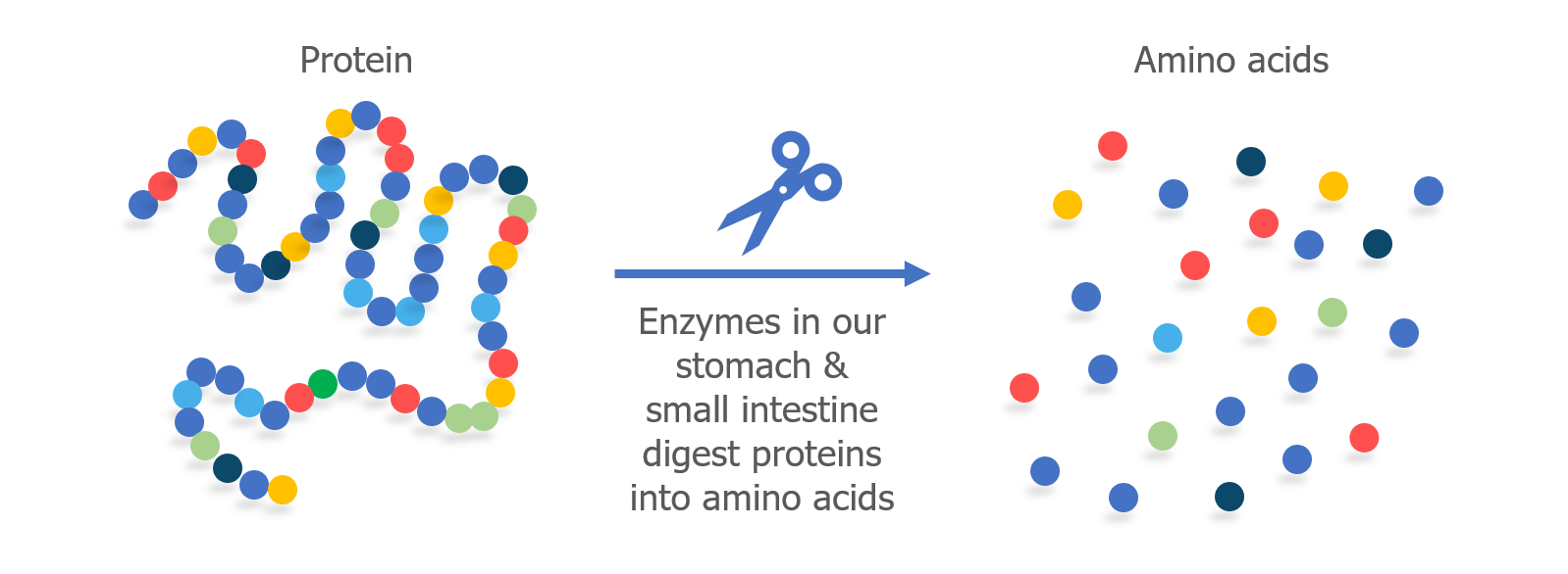Protein Illustrations and Visualization | Ask A Biologist |Proteins Amino Acids